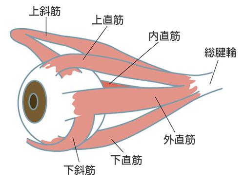 目が像を捉えようとして関連する筋肉を一生懸命に働かす